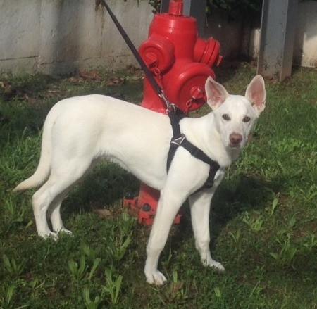 white dog on halter near fire hydrant