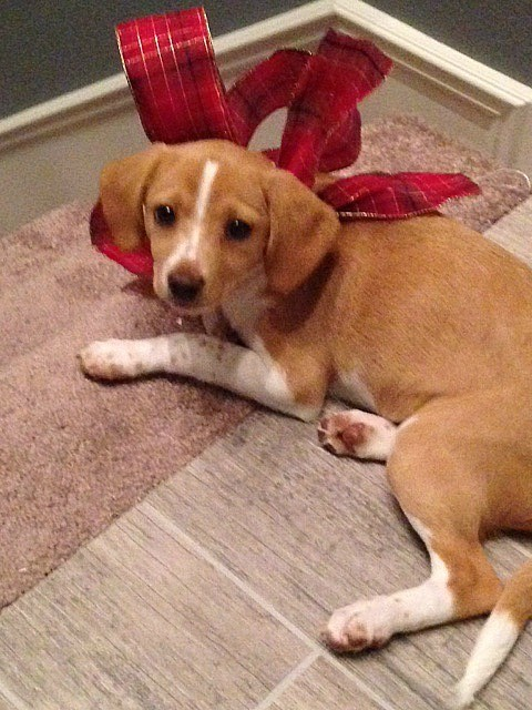 tan and white Beagle mix
