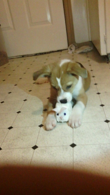 tan and white puppy with toy