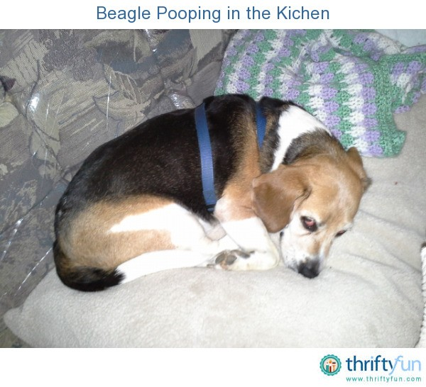 My Dog Peed On My Rug: Beagle Pooping In The Kichen