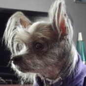 Sasha (Hairless Chinese Crested)