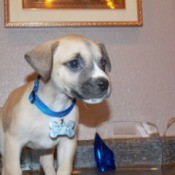 tan puppy with blue collar standing