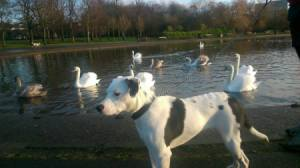 dog with lake and swans in background