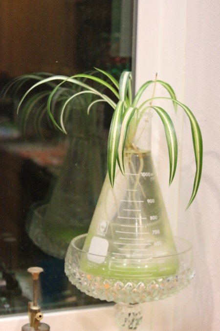 spider plant in flask