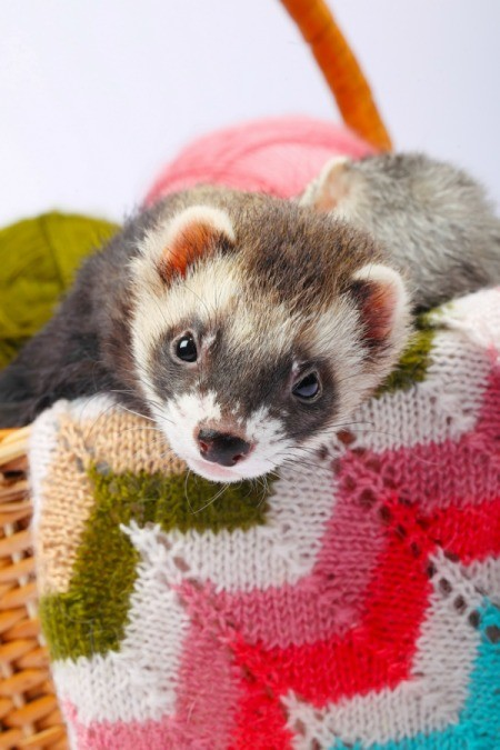 sable ferret in a basket