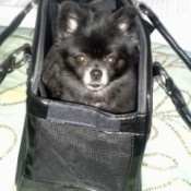 black Pom in a carry case