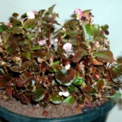 wax begonia in flower pot