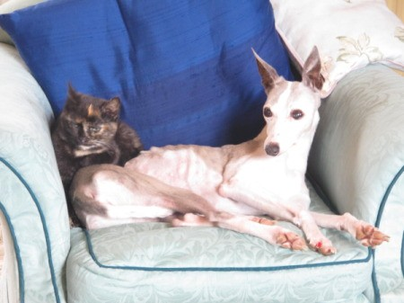 Whippet and Pug on chair
