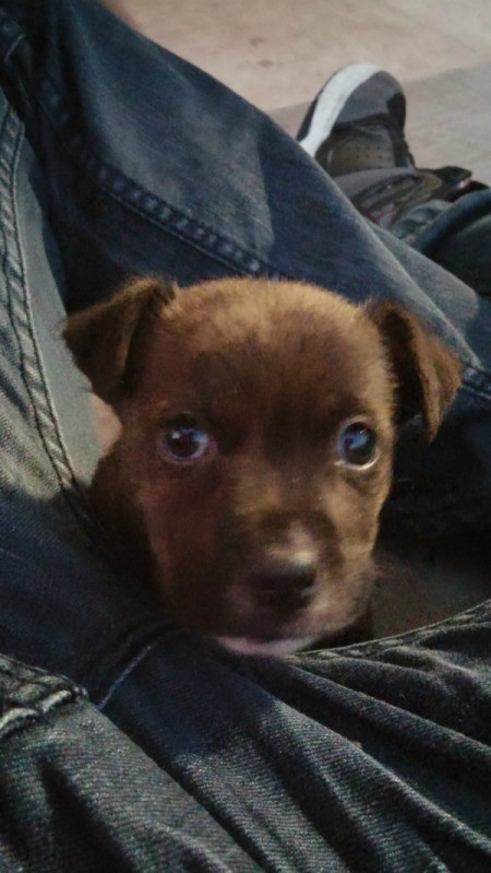 reddish brown puppy
