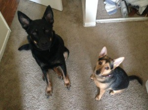 two dogs with stand up ears