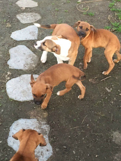 three mostly brown and one brown and white puppy in yard