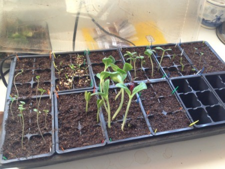 Veggie Seedlings