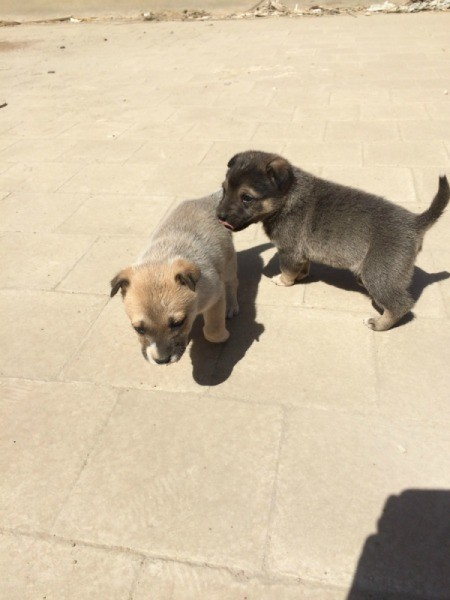 tan puppy and dark brownish grey puppy