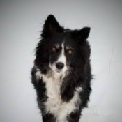A black and white border collie on a snowy background.