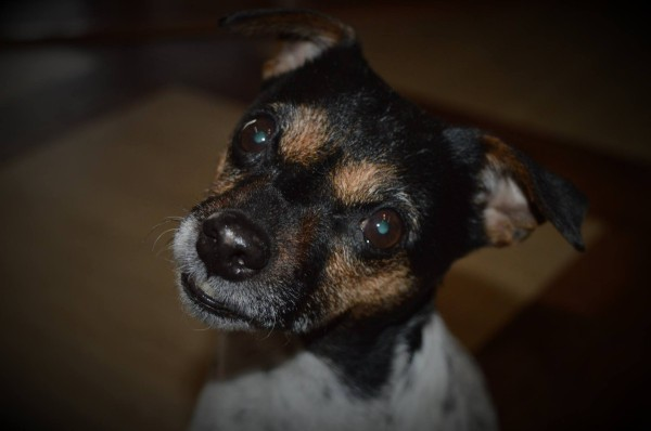 A Jack Russel Terrier looking at the camera.