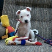 white puppy on chair with toys