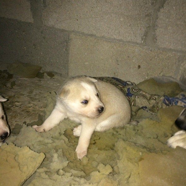 cream and white colored puppy