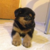 black and dark tan puppy