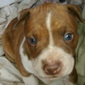 closeup of brown and white puppy
