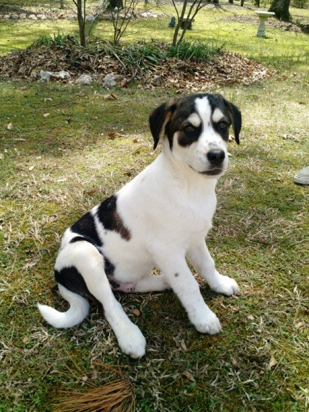 white and black puppy in yard