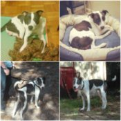 four photos of brown and white dog