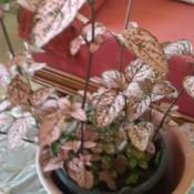 pink leaved houseplant