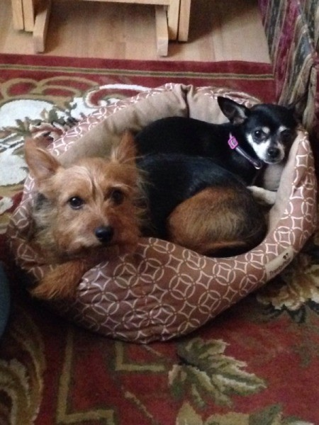 tan Silky Chi and black and tan Chi in dog bed