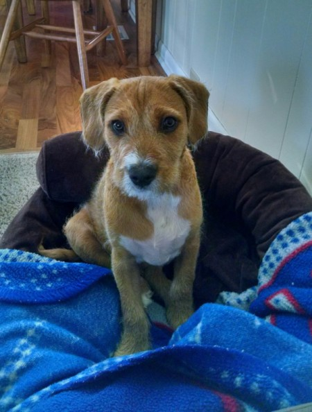 brown and white terrier mix puppy