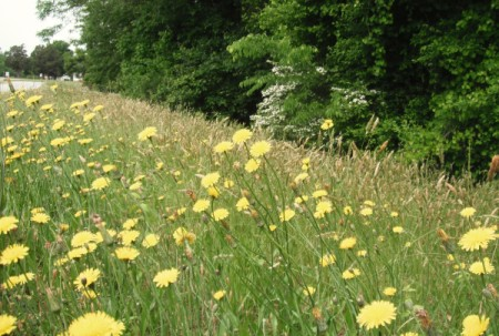 dandelion flowers on roadside