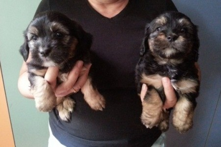 black and tan puppies
