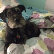 Schnauzer on bed