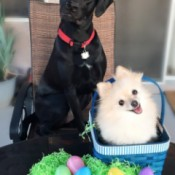 black Lab wearing a red collar with a white Pom in an Easter basket