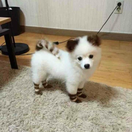 white fuzzy puppy with stripes dyed on its fur on tail and legs