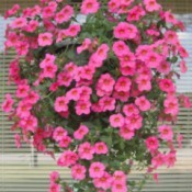 hanging basket of bright pink petunias