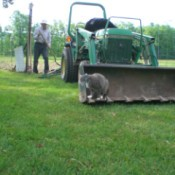Fuzzy looking over her shoulder at man behind the loader