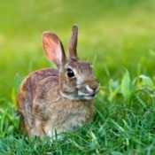 rabbit in field