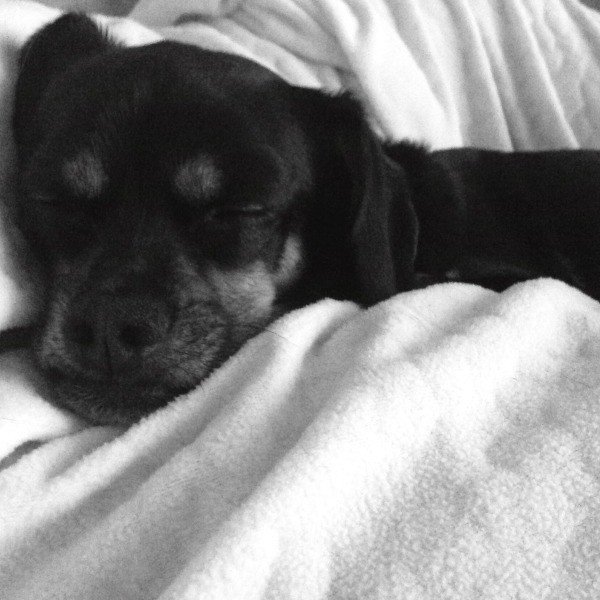 black dog in white blanket