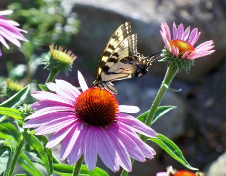 black and yellow butterfly on coneflower