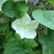 moonflower closeup