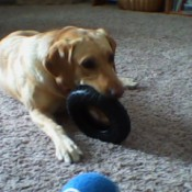yellow Lab lying on carpet chewing on a toy