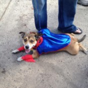 dog in red and blue super hero costume
