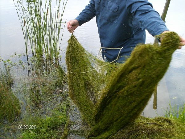 Collecting milfoil from the pond.
