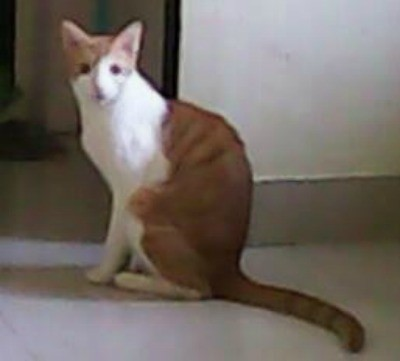 white and red tabby cat