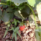 strawberry on plant