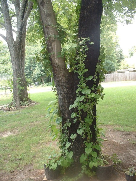 Moonflower Vine In Trees