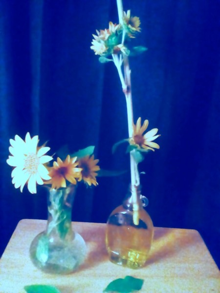 sunflowers in vases