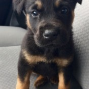 black and tan puppy on car seat