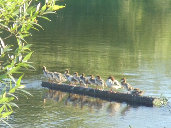 Baby Ducks on a Log