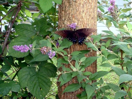 A butterfly perched on a butterfly bush.
