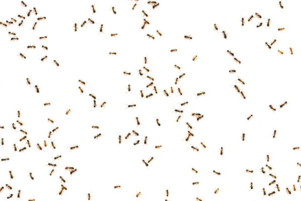 A bunch of ants on a white background.
